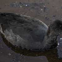 American Coot with fish in mouth at Crex Meadows