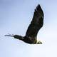 Bald Eagle in Flight at Crex meadows