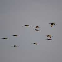 Cranes flying across the evening sky at Crex Meadows