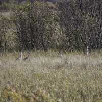 Cranes in the tall grass at Crex Meadows