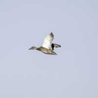 Duck in Flight at Crex meadows