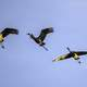 Five Cranes Flying in Formation