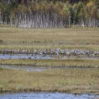 Flock of Cranes standing in the Marsh at Crex Meadows