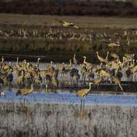 Flocks of Cranes settling down for the day at Crex Meadows