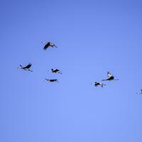 Group of Cranes flying in formation at Crex meadows