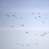 Group of Cranes flying in the sky