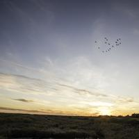 Group of Cranes flying over the sunset at Crex Meadows