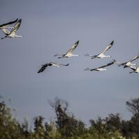 Group of Sandhill cranes flying towards the nesting site