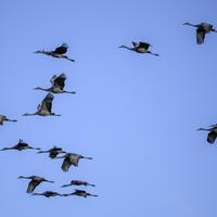Migrating Cranes in the sky at Crex Meadows