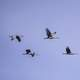 Six Cranes flying gracefully in the sky at Crex meadows