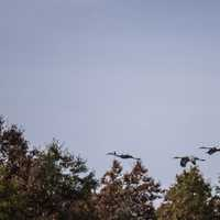 Three Cranes Flying over the trees
