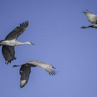 Three Majestic Cranes in Flight