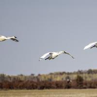 Three Trumpeter Swans flying across the landscape