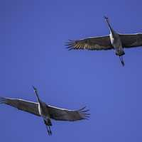 Two majestic cranes flying overhead