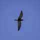 Black Tern hovering in the air
