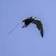 Black tern soaring in flight - Chlidonias niger