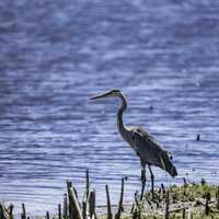 Blue Heron standing fishing on the shore