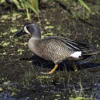Blue-winged Teal standing in the marsh