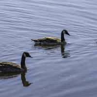 Canadian Geese swimming in water