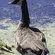 Close-up of a Canadian Goose near the pond