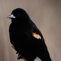 Closeup Red Winged Blackbird on reed