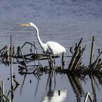 Egret in the Pond looking for fish