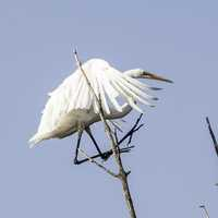 Egret Standing on a branch in Horicon Marsh