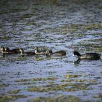 Family of Loons swimming in the Swamp