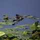 Female Red Winged Blackbird flying over Lilypads