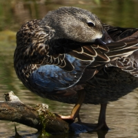 Female Blue Winged Teal preening