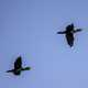 Four flying cormorants at Horicon Marsh