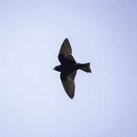 Full Wingspan of Purple Martin in flight