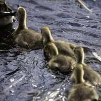 Goslings following in the straight line