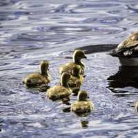Goslings follows mother and father goose