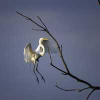 Great Egret landing on a branch
