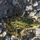 Green Frog Sitting on the Ground on rocks