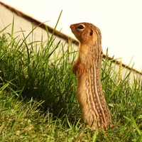 Ground Squirrel standing up