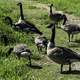 Group of Geese on the hiking path on Horicon Marsh