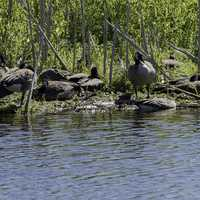 Group of Geese resting on an island in the pond