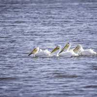 Group of Pelicans swimming in the water
