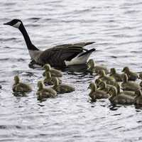 Groups of Goslings swimming with mother goose
