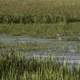Heron standing in the Marsh