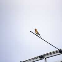 House finch sitting on weather vane