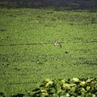 Killdeer flying over the swamp