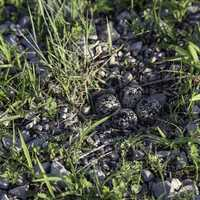 Killdeer nest with eggs on the ground