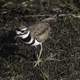 Killdeer walking on the ground
