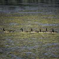 Line of Canadian Geese swimming in the swamp