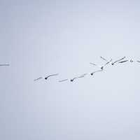 Line of flying pelicans