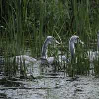 Little Cygnets swimming in the marsh