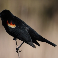 Male Redwinged Blackbird on reed